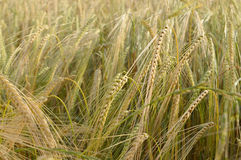 Barley field. In the summer stock photography
