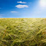 Barley field in summer Royalty Free Stock Photography