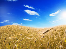 Barley field in summer Stock Photography