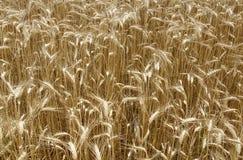 Barley field in summer. Common Barley Hordeum vulgareplant plant in summer as golden background stock photos