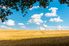Barley field in summer, great britain Royalty Free Stock Image