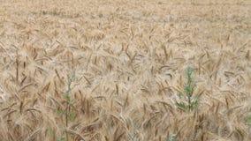 Barley field in summer, Hordeum vulgare, Gerste stock video footage