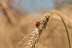 Barley field in summer Royalty Free Stock Images