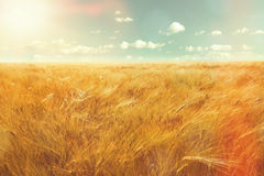 Barley field and sunlight Royalty Free Stock Images