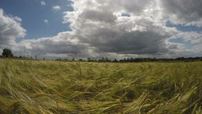 Barley field on sunny cloudy day, 4K stock footage