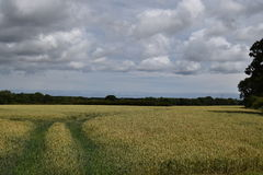 Barley Field. A sunny day in the countryside stock image
