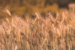 Barley Field in Sunset. Agricultural, agriculture, art, autumn, background, beautiful, border, bread, bright, cereal, closeup, concept, countryside, crop stock photos