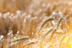 Barley field at sunset Royalty Free Stock Photo