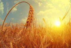 Barley field at sunset. Stock Photo