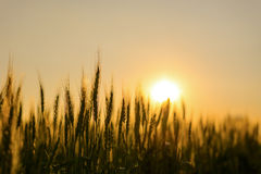 Barley field in sunset Royalty Free Stock Images