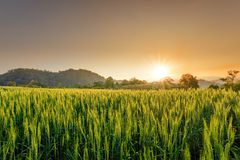 Barley field in sunset Royalty Free Stock Photos