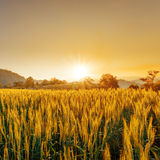 Barley field in sunset Royalty Free Stock Photo