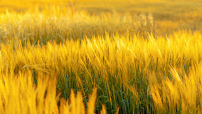 Barley field in sunset Stock Photography