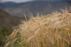 Barley Field in Tibet Stock Photo