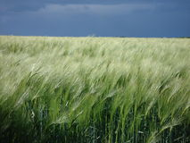 Barley field under a stormy sky Stock Image