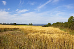 Barley field with a view Royalty Free Stock Photography