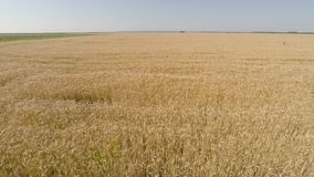 Barley field viewed from air - bottom view, moving forward, low altitude, higher speed HD stock video footage