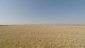 Barley field viewed from air - front view, moving backward, low altitude, slow but increasing speed HD stock footage