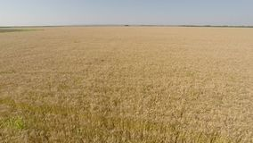 Barley Field viewed from air - front view, moving forward, higher altitude, greater speed HD stock video