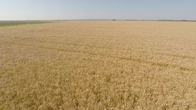 Barley Field viewed from air - front view, moving forward, higher altitude, low speed HD stock video