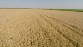 Barley Field viewed from air - front view, moving forward, low altitude, low speed, slowing at the end HD stock video footage