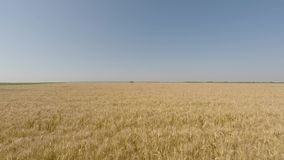 Barley field viewed from air - front view, moving forward, low altitude, slow but increasing speed stock footage
