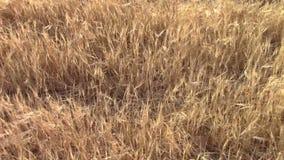 Barley field stock footage