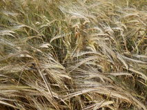 Barley field in the wind Stock Photography