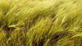 Barley field in the wind stock video