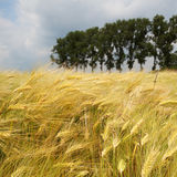 Barley field Royalty Free Stock Image