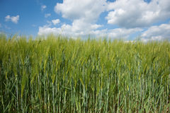 Barley fields. Stock Photos
