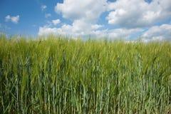 Barley fields. Stock Photos