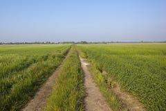 Barley fields Stock Image