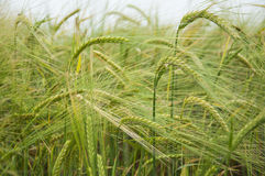 Barley fields Stock Images