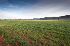 Barley fields in an agricultural landscape in La Mancha. Ciudad Real Province, Spain. In the background can be seen the Toledo Mountains Stock Photo