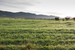 Barley fields in an agricultural landscape in La Mancha. Ciudad Real Province, Spain. In the background can be seen the Toledo Mountains Stock Image