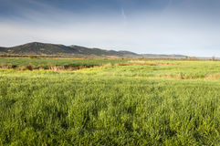 Barley fields in an agricultural landscape in La Mancha. Ciudad Real Province, Spain. In the background can be seen the Toledo Mountains Royalty Free Stock Photo