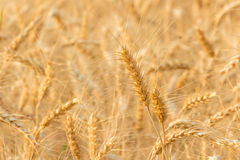 Barley Fields Royalty Free Stock Images