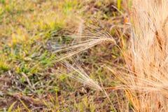 Barley Fields Royalty Free Stock Photography