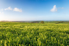 Barley Fields in Cornwall Royalty Free Stock Photo