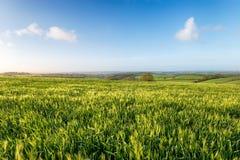 Barley Fields in Cornwall Royalty Free Stock Photo