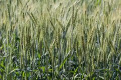 Barley fields In the morning Royalty Free Stock Photo