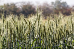 Barley fields In the morning Royalty Free Stock Images