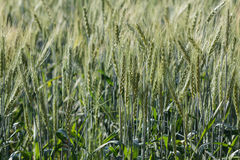 Barley fields In the morning Stock Photography