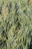 Barley fields In the morning Royalty Free Stock Photography