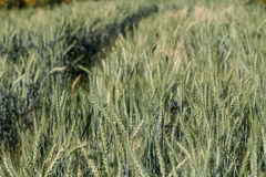 Barley fields In the morning Stock Image