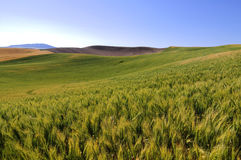 Barley fields in Palouse Royalty Free Stock Photos