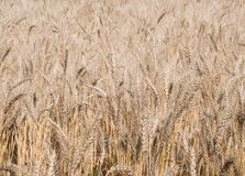 Barley fields in summer Royalty Free Stock Photos