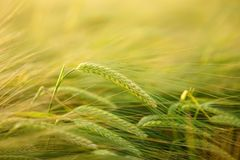 Barley, Getreideanbau Stock Photos