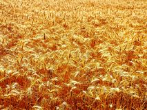 Barley. A golden field of ripe barley Royalty Free Stock Photography